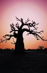 18 baobab